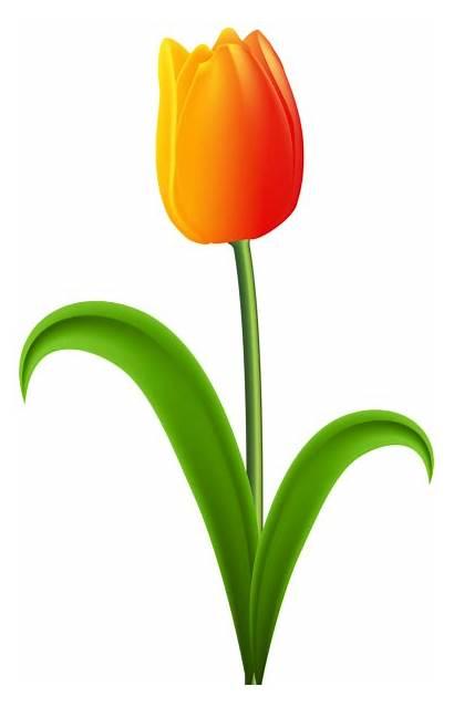Tulip Clip Transparent Clipart Flowers Yopriceville Previous
