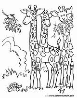 Coloring Herd Giraffes Sheet Giraffe Pages Colormountain sketch template