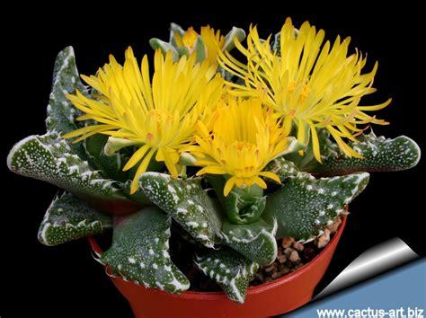 petals for sale faucaria
