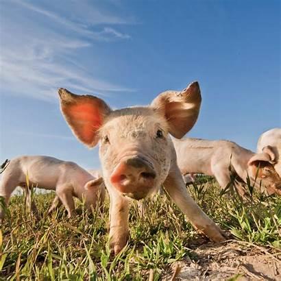 Ipad Animal Sc Animales Terrestres Huella Pig