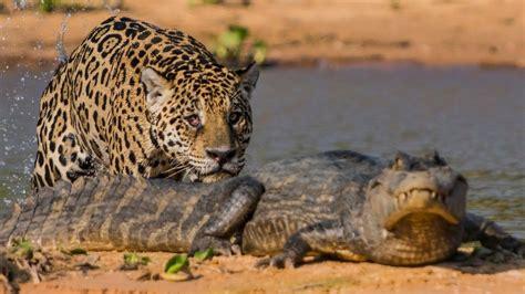 Jaguar Vs Caiman by Jaguar Attacks Crocodile Big Cat Attacks Caiman Crocodile