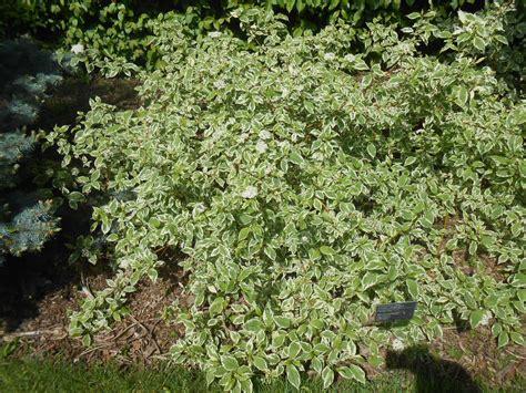 cornus alba sibirica variegata pepiniere cramer