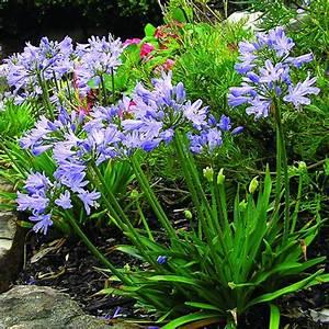 Agapanto Azul Enano mac 13 Multiplant