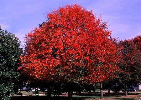 black gum tree black tupelo gum tree tree pictures information and facts