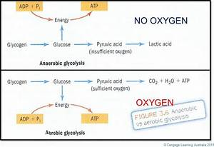 Is Glycolysis Aerobic Or Anaerobic