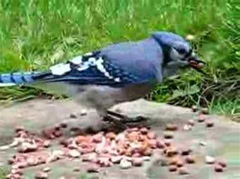do blue jays like peanuts blue peanuts