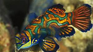 Dragonets Mandarin Fish | Full HD Desktop Wallpapers 1080p