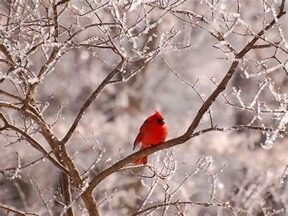 Winter Cardinal Bird Cardinals Background Birds Snow
