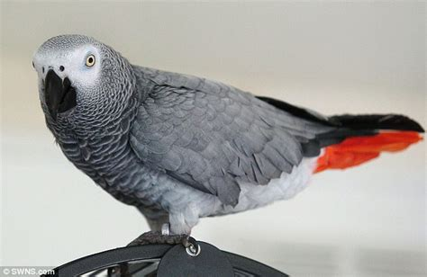 gray parrot owner of buddy the parrot threatened with asbo because he won t stop singing daily mail online