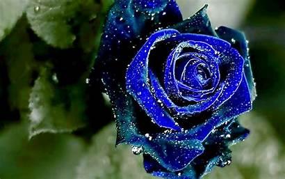 Rose Wallpapers Roses Desktop Nature Lilac Yellow