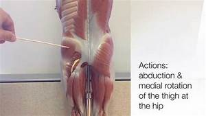 Muscles That Move The Thigh - Part 1