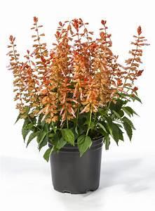 Salvia Splendens Grandstand U2122  U2013 Green Fuse Botanicals Inc