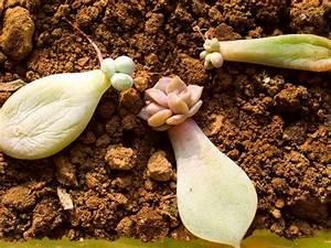 Bouture Plante Verte : le bouturage des plantes succulentes ~ Melissatoandfro.com Idées de Décoration