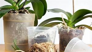 Rempoter Une Orchidee : rempoter orchid e c t maison ~ Mglfilm.com Idées de Décoration