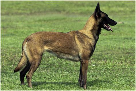 belgian malinois shedding season belgian malinois facts pictures puppies temperament