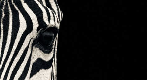 wallpaper zebra eye black white couple cute animals