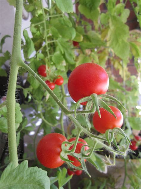 how to grow tomatoes wendys hat how to grow tomatoes garden recipe