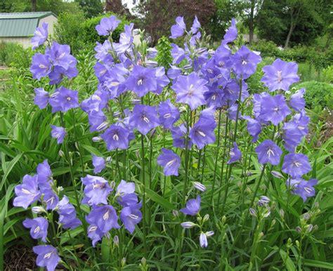bellflower plant canula