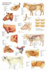 Nervous System Anatomical Chart Anatomical Chart Of The Ox Cow 24 X 36