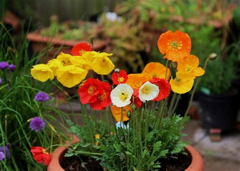 growing poppies growing poppies in pots care how to grow poppies in containers balcony garden web