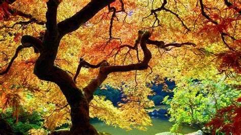 maple tree japanese japanese maple wallpaper 460057