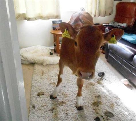 Moooving in: Hilarious moment two COWS found wandering