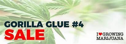 Gorilla Glue Seeds Cannabis Canada Promotion August