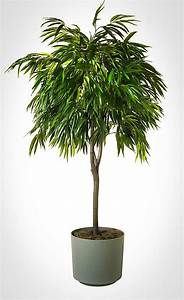 leaf ficus tree the tree center