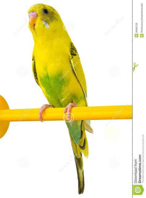 aureole jaune sur linge blanc perruche jaune photos stock image 35663703