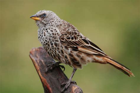weaver bird file weaver bird jpg