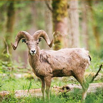 do bighorn sheep shed their horns free roaming area at northwest trek moose bison elk