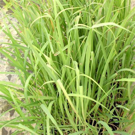 Plant De Citronnelle De Madagascar (cymbopogon Citratus