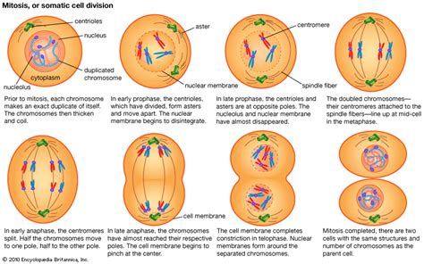 Mitosis Has How Many Cell Divisions Cellular Division 3 Val Paulina S Biology Portfolio