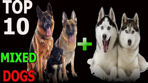 Top 10 incredible mixed dog breeds Top 10 animals YouTube