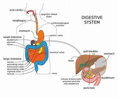 Digestive System Liver Digestion Diagram Organs Through