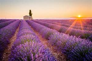 Provence lavender fields: flowering, locations