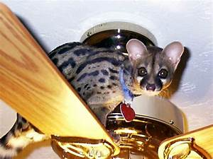 a pet genet would be awesome | Cuddlies | Pinterest