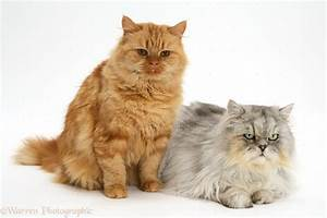 Ginger and Chinchilla Persian cats photo WP15132