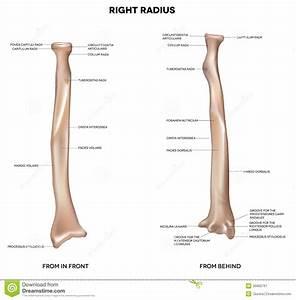Human Right Radius  Bone Stock Vector  Illustration Of