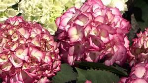 Welche Erde Für Hortensien : farbenpr chtige hortensien orf salzburg fernsehen ~ Eleganceandgraceweddings.com Haus und Dekorationen