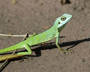 Green crested lizard? - Reptile Forums
