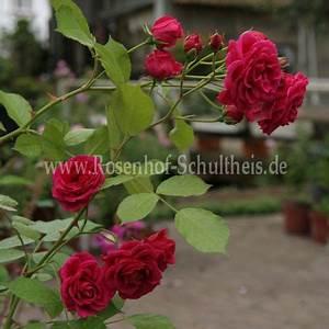 Rosen Düngen Im Frühjahr : elmshorn rosen online kaufen im rosenhof schultheis rosen online kaufen im rosenhof schultheis ~ Orissabook.com Haus und Dekorationen