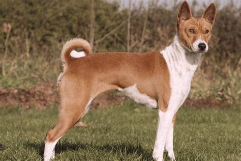 Large Dogs That Dont Shed Much by Basenji Luv4tatts They Don T Shed Or Bark But Make A