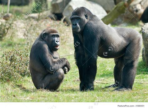 monkeys  apes male gorilla stock photo