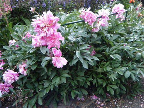 Pfingstrosen Pflanzen Und Pflegen 3420 by Pfingstrose Pflanze Paeonia Officinalis Staude Bauern