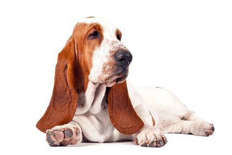 dachshund clipart floppy ear dachshund floppy ear transparent