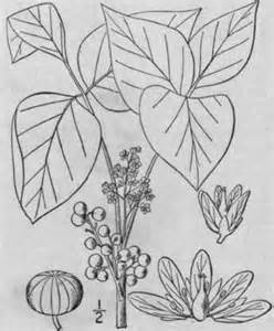 Coloring Pages Poison Ivy Oak Sumac