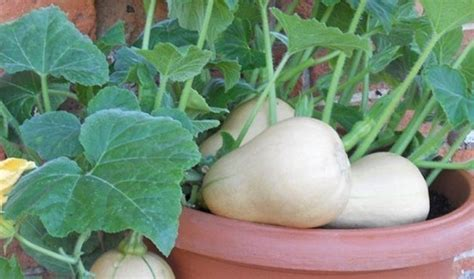 faire pousser d la en interieur comment faire pousser des citrouilles en pot