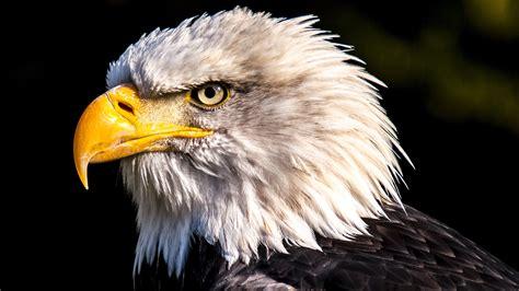 amazing eagle  chromebook wallpaper