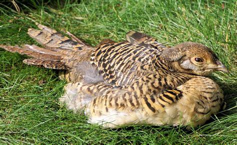 comment cuisiner une poule faisane le faisan une espèce de poule sauvage